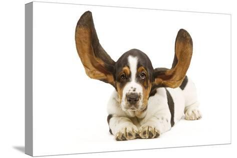 Basset Hound in Studio with Ears Up--Stretched Canvas Print