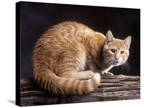European Ginger Tabby Cat--Stretched Canvas Print