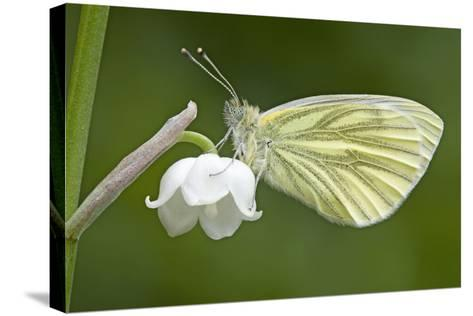 Green Veined White Butterfly--Stretched Canvas Print