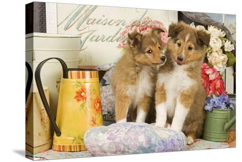 Shetland Sheepdog Puppies--Stretched Canvas Print