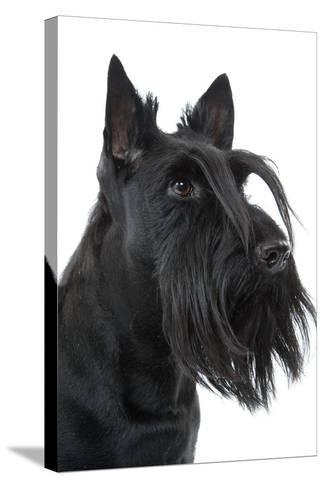 Scottish Aberdeen Terrier--Stretched Canvas Print