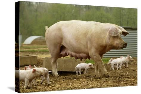 """Elevage """"Large White"""" Pig and Piglets in Sty--Stretched Canvas Print"""