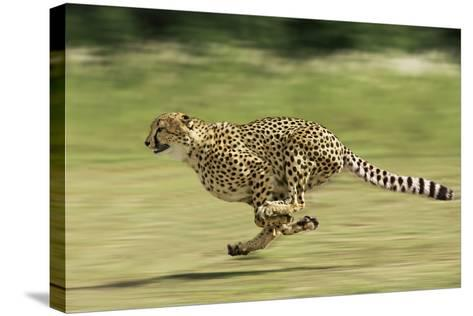 Cheetah Running--Stretched Canvas Print
