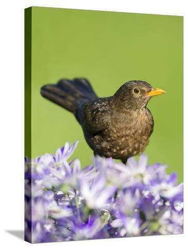 Blackbird Female--Stretched Canvas Print