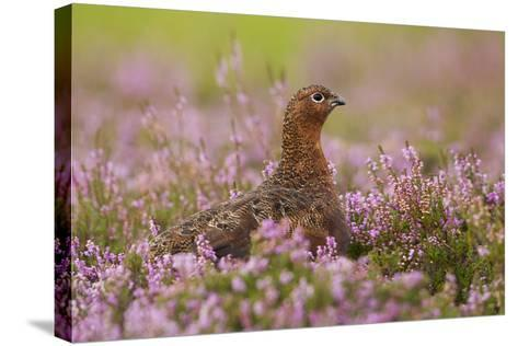 Red Grouse Amongst Heather--Stretched Canvas Print