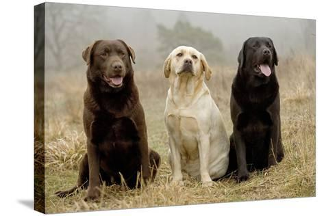 Labrador Yellow, Black and Chocolate--Stretched Canvas Print