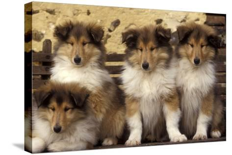 Rough Collie Dogs Four Puppies--Stretched Canvas Print