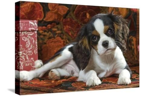 Cavalier King Charles Dog Puppy--Stretched Canvas Print