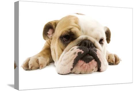 English Bulldog Lying in Studio--Stretched Canvas Print