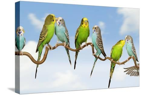 Budgerigars Group Perched on Twig--Stretched Canvas Print