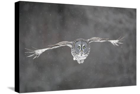 Great Grey Owl Flight--Stretched Canvas Print