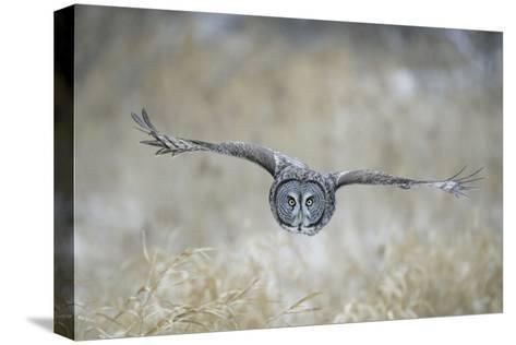 Great Grey Owl in Flight--Stretched Canvas Print