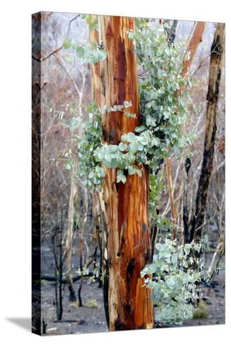 Regrow on Gum Trees after Bush Fire--Stretched Canvas Print