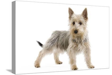 Australian Silky Terrier Puppy in Studio--Stretched Canvas Print