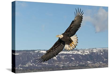 Adult Bald Eagle in Flight--Stretched Canvas Print
