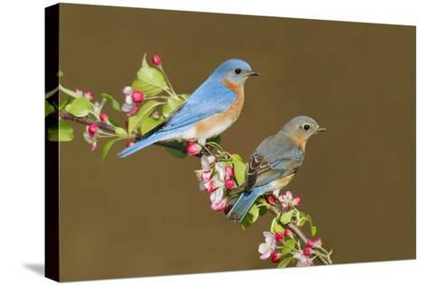 Eastern Bluebird Pair--Stretched Canvas Print