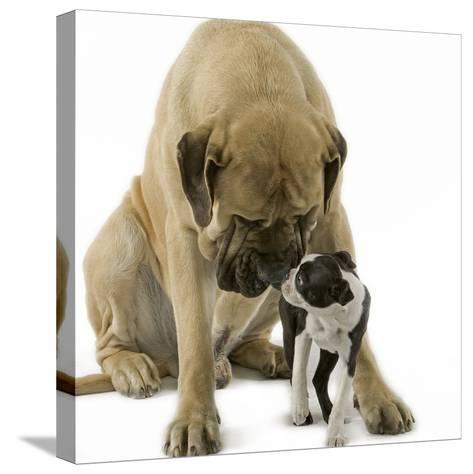 Boston Terrier with Mastiff Dog--Stretched Canvas Print