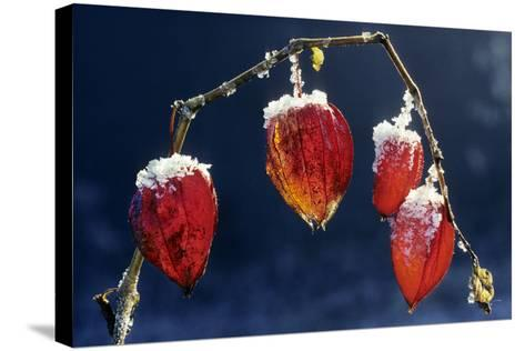 Winter Cherry--Stretched Canvas Print