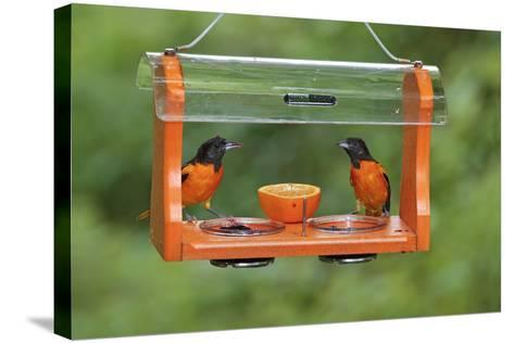 Baltimore Oriole Males Feeding at Jelly and Fruit Feeder--Stretched Canvas Print
