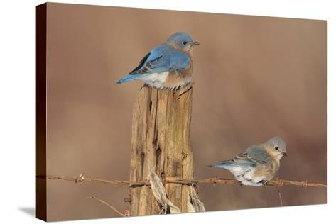 Eastern Bluebird Male and Female in Winter--Stretched Canvas Print
