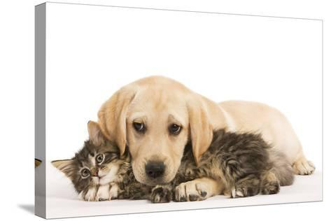 Cat and Dog Labrador Puppy and Norwegian Forest Cat Kitten--Stretched Canvas Print