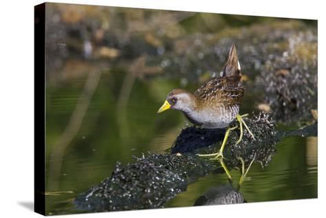 Sora March--Stretched Canvas Print