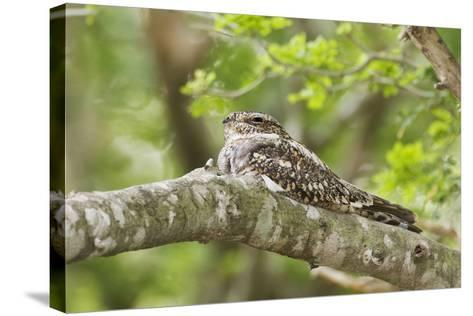 Common Nighthawk--Stretched Canvas Print