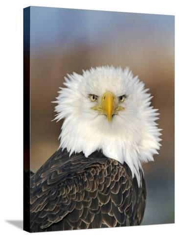 Adult Bald Eagle--Stretched Canvas Print