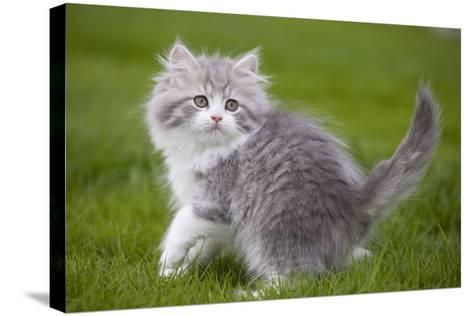 British Longhair 8 Week Old Kitten Outside--Stretched Canvas Print