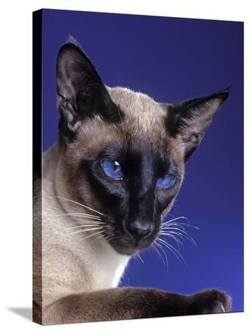 Siamese Seal Point in Studio--Stretched Canvas Print