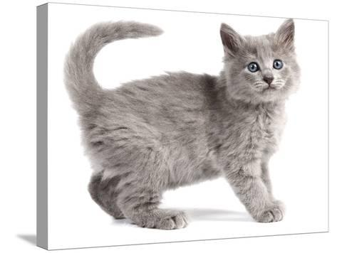 Nebelung Kitten--Stretched Canvas Print