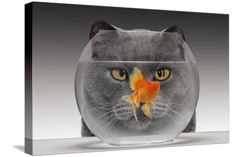 Cat Looks at Goldfish in Bowl--Stretched Canvas Print