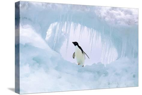 Adelie Penguin--Stretched Canvas Print