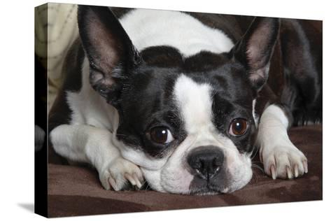 Boston Terrier--Stretched Canvas Print