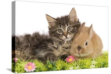Norwegian Forest Kitten and Dwarf Rabbit--Stretched Canvas Print