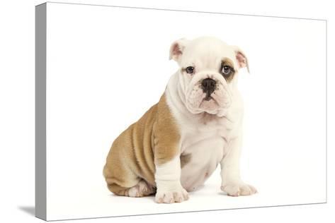 English Bulldog--Stretched Canvas Print