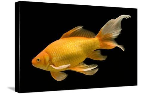 Fish Goldfish in Tank Black Background--Stretched Canvas Print