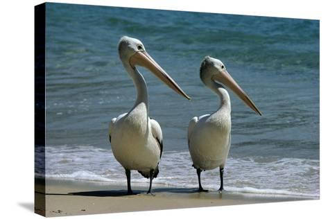 Australian Pelican Two Birds at Wateros Edge--Stretched Canvas Print