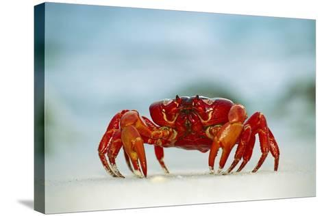 Land Crab Single Crab on Beach Close Up--Stretched Canvas Print