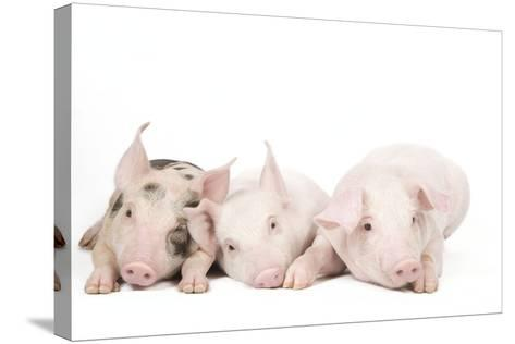 Piglets--Stretched Canvas Print