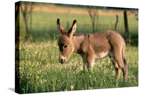 Donkey Foal in Meadow, Side On--Stretched Canvas Print