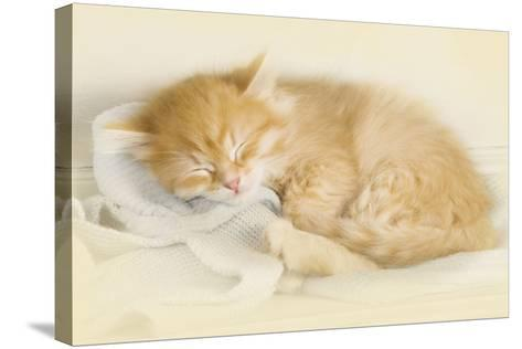 Siberian Kitten Sleeping--Stretched Canvas Print