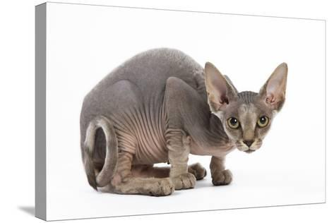 Sphynx Kitten 4 Months Old--Stretched Canvas Print