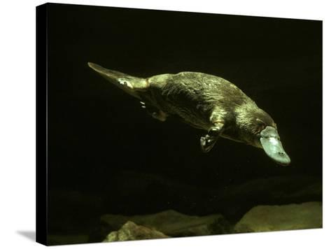 Platypus Underwater--Stretched Canvas Print
