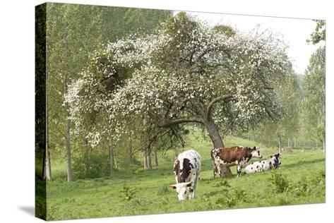 Cattle, Normandy Cows under Tree in Blossom--Stretched Canvas Print