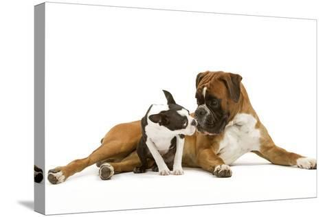 Boston Terrier and Boxer Sniffing Each Other in Studio--Stretched Canvas Print
