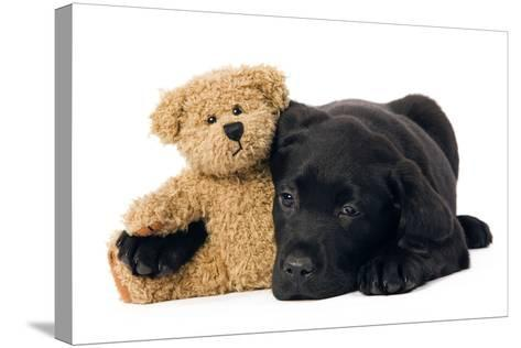 Black Labrador Puppy in Studio with Teddy Bear--Stretched Canvas Print