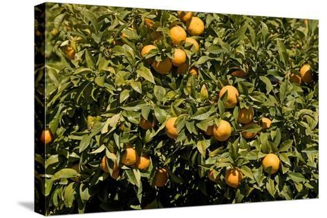 Oranges on Tree--Stretched Canvas Print
