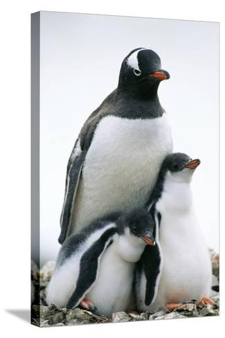 Gentoo Penguin Adult with Two Chicks--Stretched Canvas Print