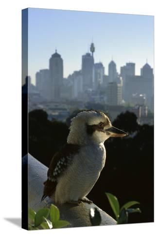 Laughing Kookaburra on City Balcony Rail--Stretched Canvas Print